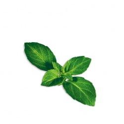 Capsule plante Plantui Basil Minette (busuioc Minette)