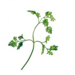 Capsule plante Plantui Chervil (asmatui)