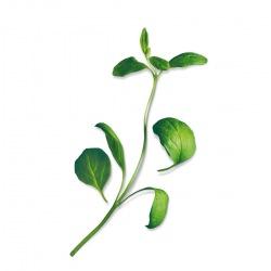 Capsule plante Plantui Marjoram (marghiran)
