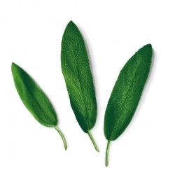 Capsule plante Plantui Sage (salvie)