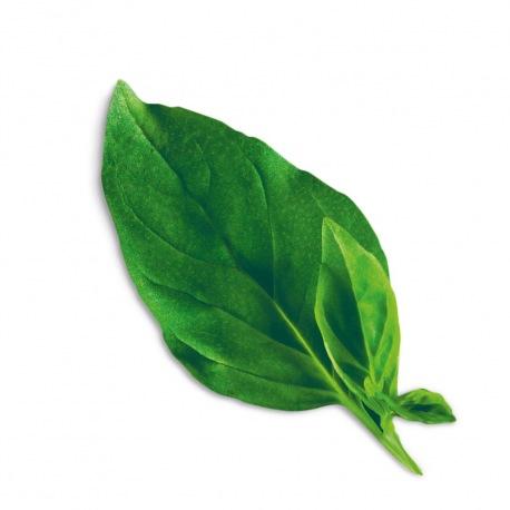 Capsule plante Plantui Basil Thai (busuioc thailandez)