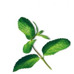 Capsule plante Plantui Mint (menta)