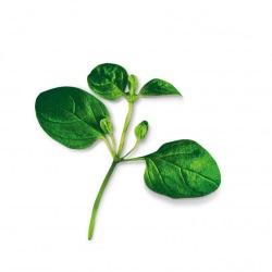 Capsule plante Plantui Oregano