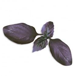 Capsule plante Plantui Basil Dark (busuioc negru)