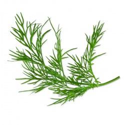 Capsule plante Plantui Dill (marar)