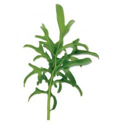 Capsule plante Plantui Kale Lacy (Kale dantelata)