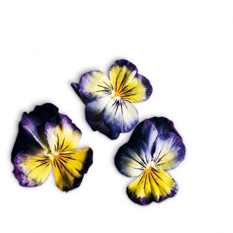 Capsule plante Plantui Viola Lemon Blue (viola tricolor)