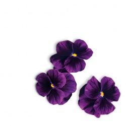 Capsule plante Plantui Viola Purple (purpurie)