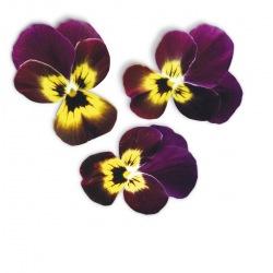 Capsule plante Plantui Viola Ruby & Gold (rosie si galbena)