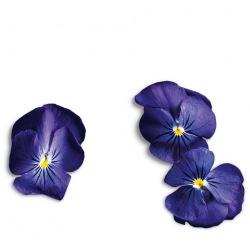 Capsule plante Plantui Viola True Blue (albastra pur)