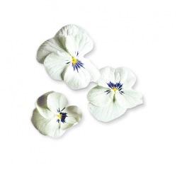 Capsule plante Plantui Viola White (alba)