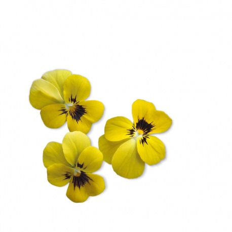 Capsule plante Plantui Viola Yellow (galbena)