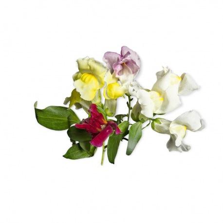 Capsule plante Plantui Snapdragon (gura leului)