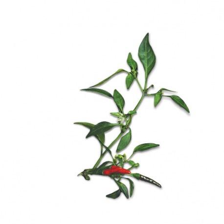 Capsule plante Plantui Chilli Demon Red